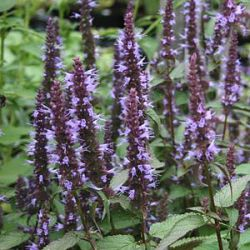 Agastache 'After Eight' ®