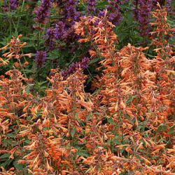 Agastache 'Summer Sunset' ®