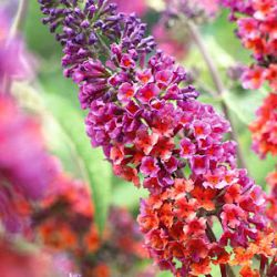 Buddleja 'Bicolor' ('Flower Power')