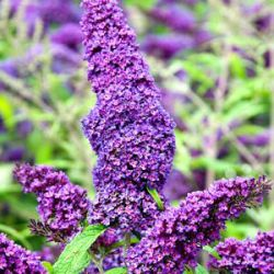 Buddleja davidii Purple Emperor ('Pyrkeep' ®)