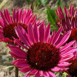 Echinacea purpurea 'Fatal Attraction' ®