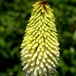 Kniphofia 'Ice Queen'