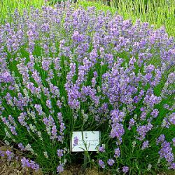 Lavandula angustifolia 'Ashdown Forest'