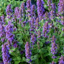 Nepeta 'Purple Haze' ®