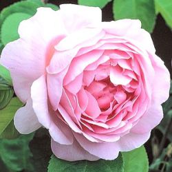Rosa 'Constance Spry' (Ausfirst)