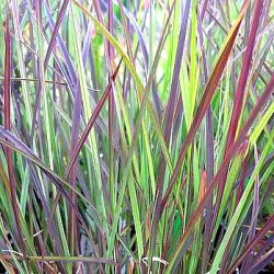 Schizachyrium scoparium 'Blue Heaven' ®  (Andropogon)