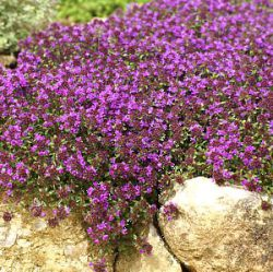 Thymus serpyllum 'Creeping Red'